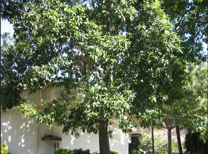 A rudraksha tree